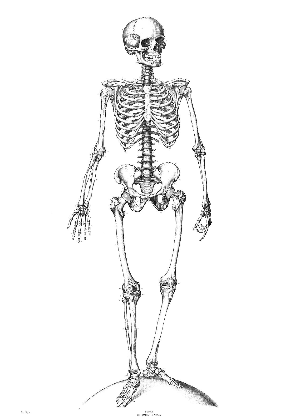 Free Printable Skeleton Coloring Pages For Kids | Classical - Free Printable Skeleton Coloring Pages