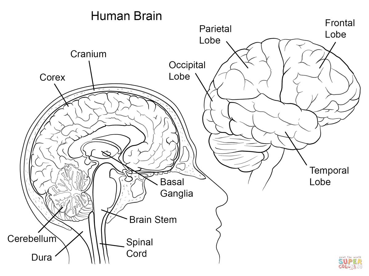 Human Brain Anatomy Coloring Page | Free Printable Coloring Pages - Free Anatomy Coloring Pages Printable