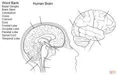 Human Brain Worksheet Coloring Page | Free Printable Coloring – Free Anatomy Coloring Pages Printable