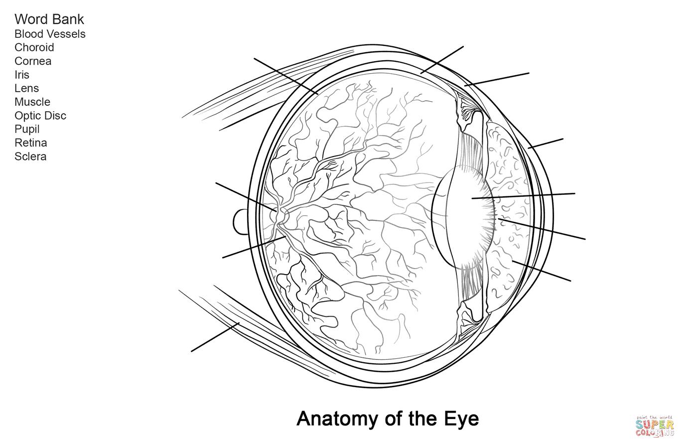 Human Eye Anatomy Worksheet Coloring Page   Free Printable Coloring - Free Printable Anatomy Pictures