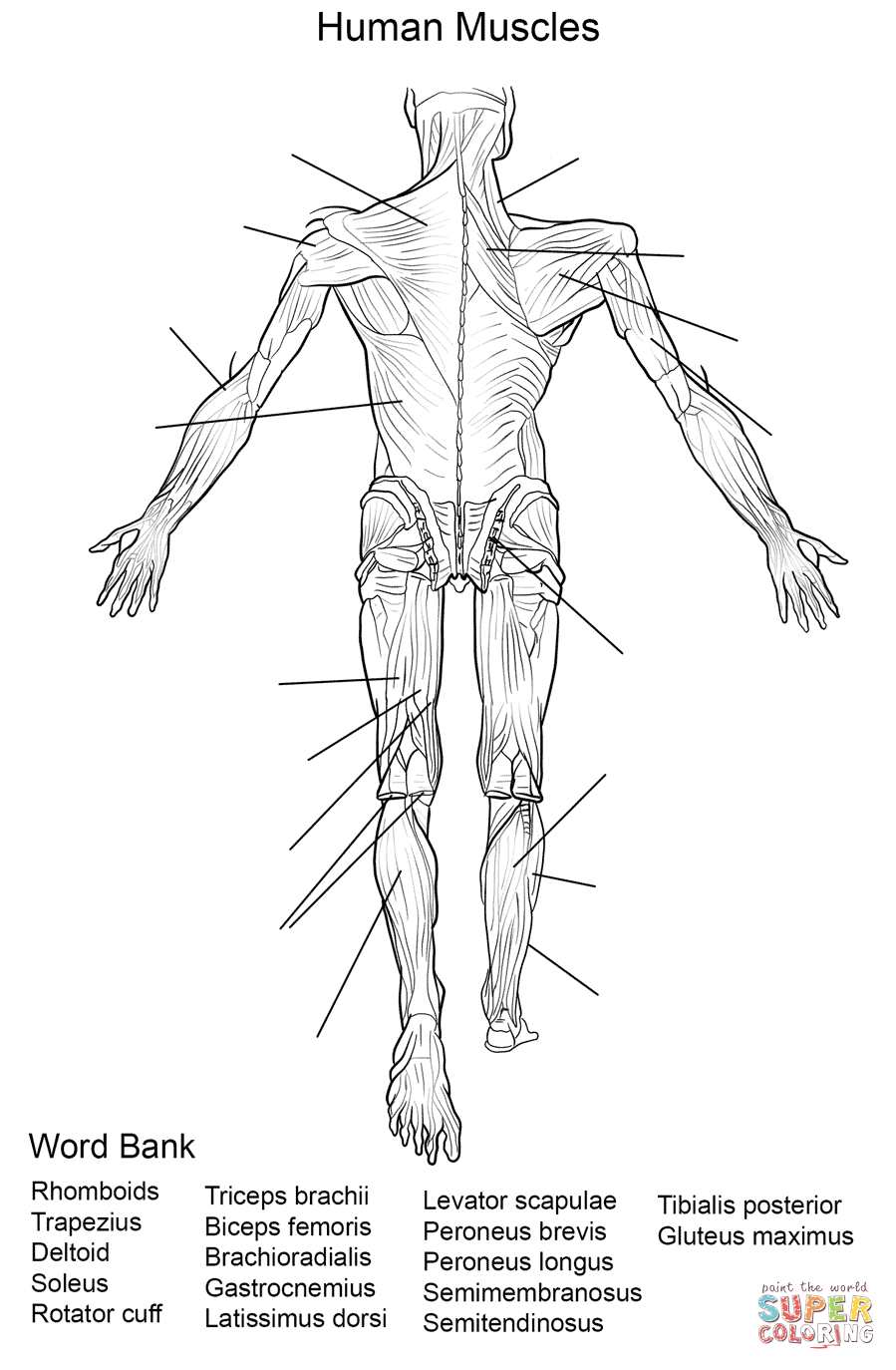 Human Muscles Back View Worksheet Coloring Page | Free Printable - Free Printable Human Anatomy Worksheets