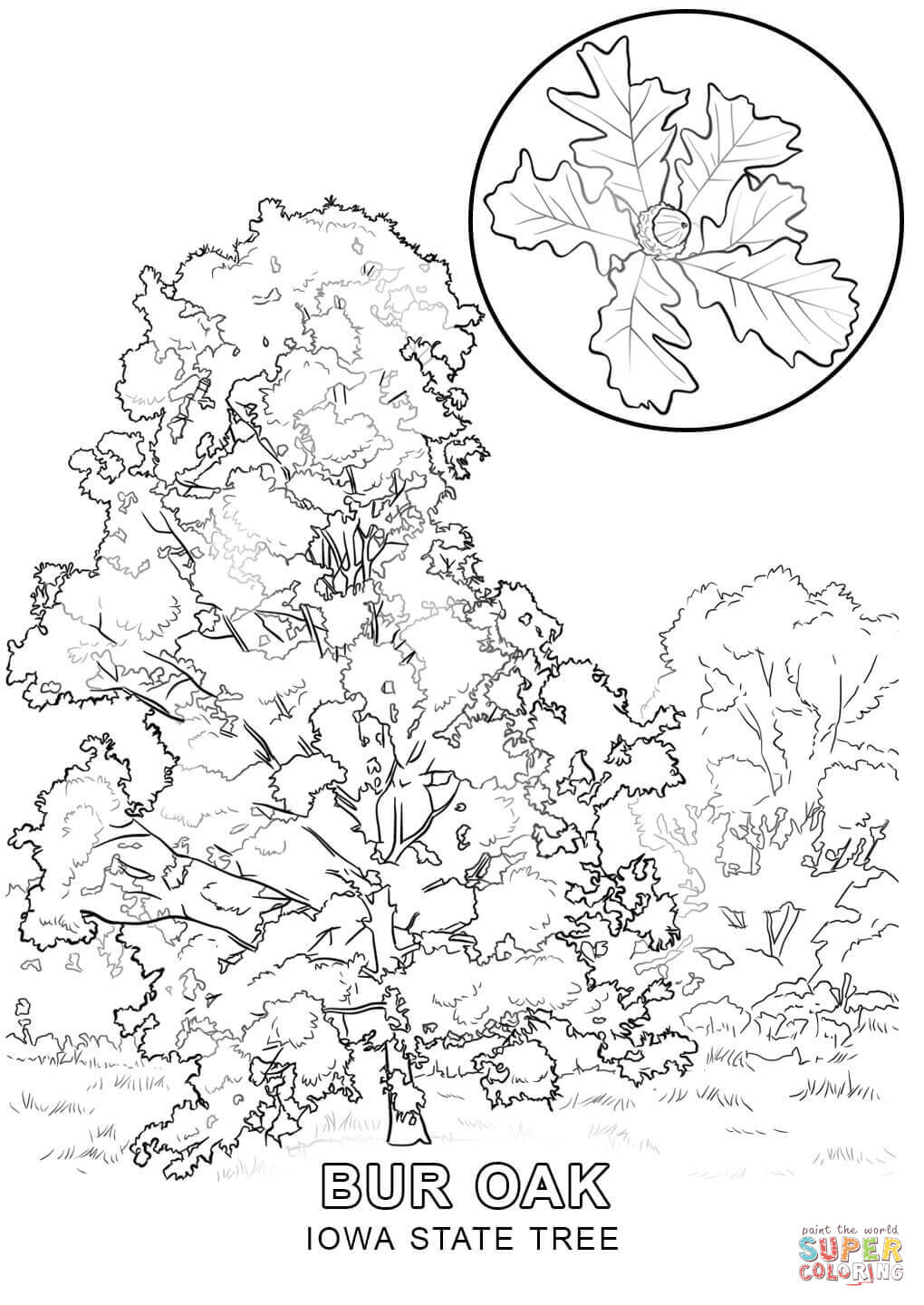 Iowa State Tree Coloring Page | Free Printable Coloring Pages - Tree Coloring Pages Free Printable