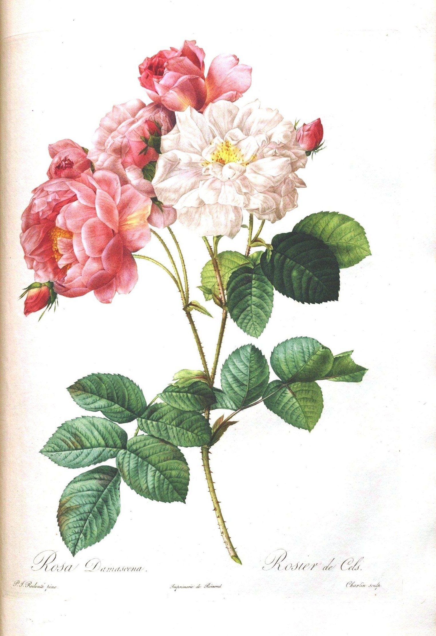 Loads Of Them!!! Free!!! Vintage Printable – Botanical – 7   Vintage - Free Printable Roses