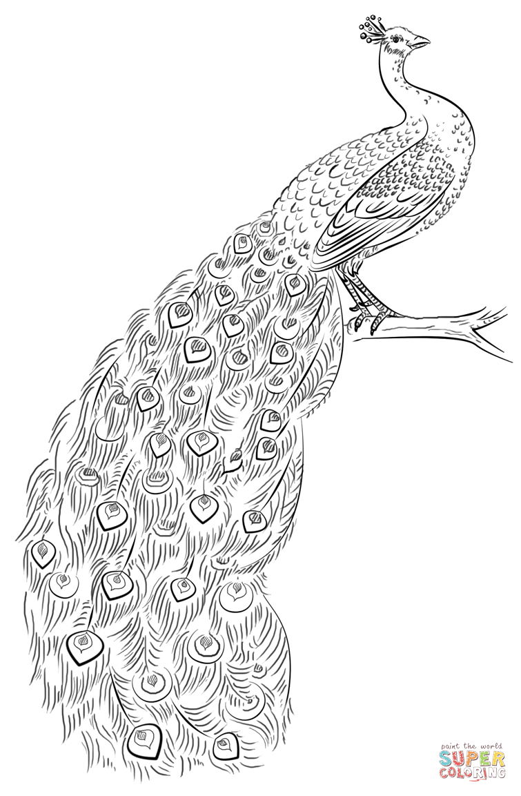 Peacock Coloring Pages Page Free Printable 755×1153 Attachment - Free Printable Peacock Pictures